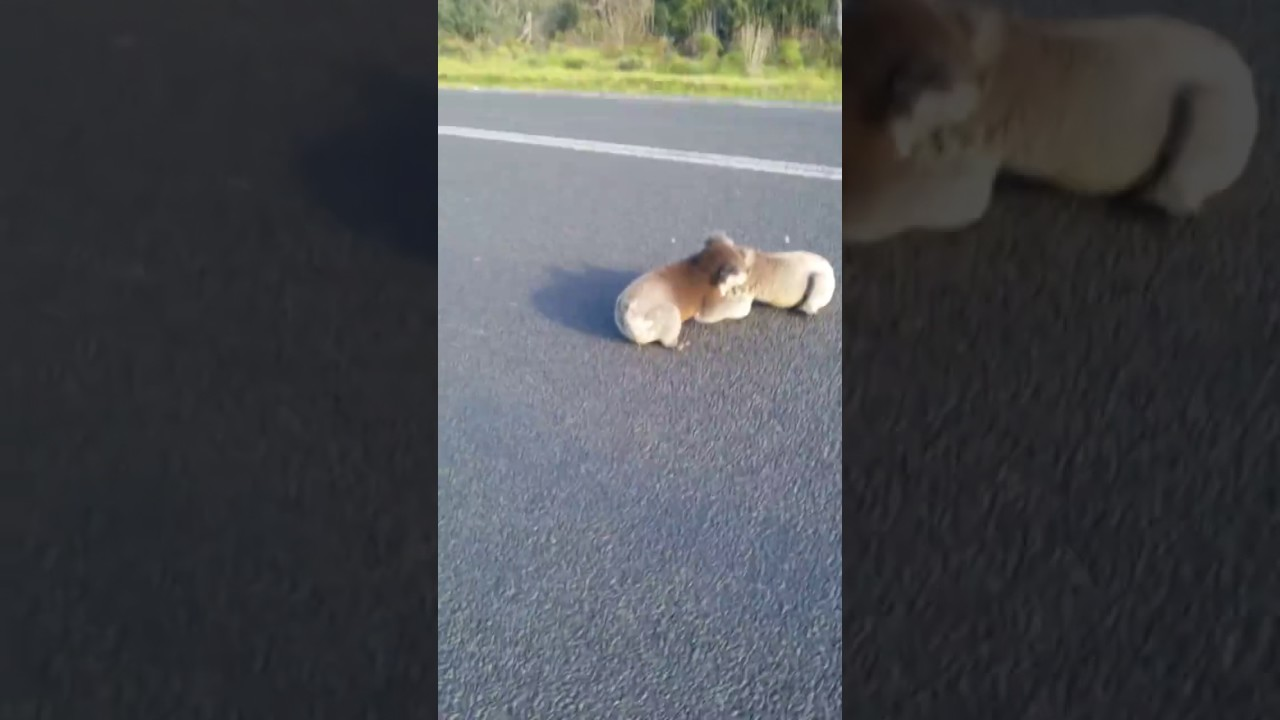 Funny Video: Woman Breaks Up a Koala Fight