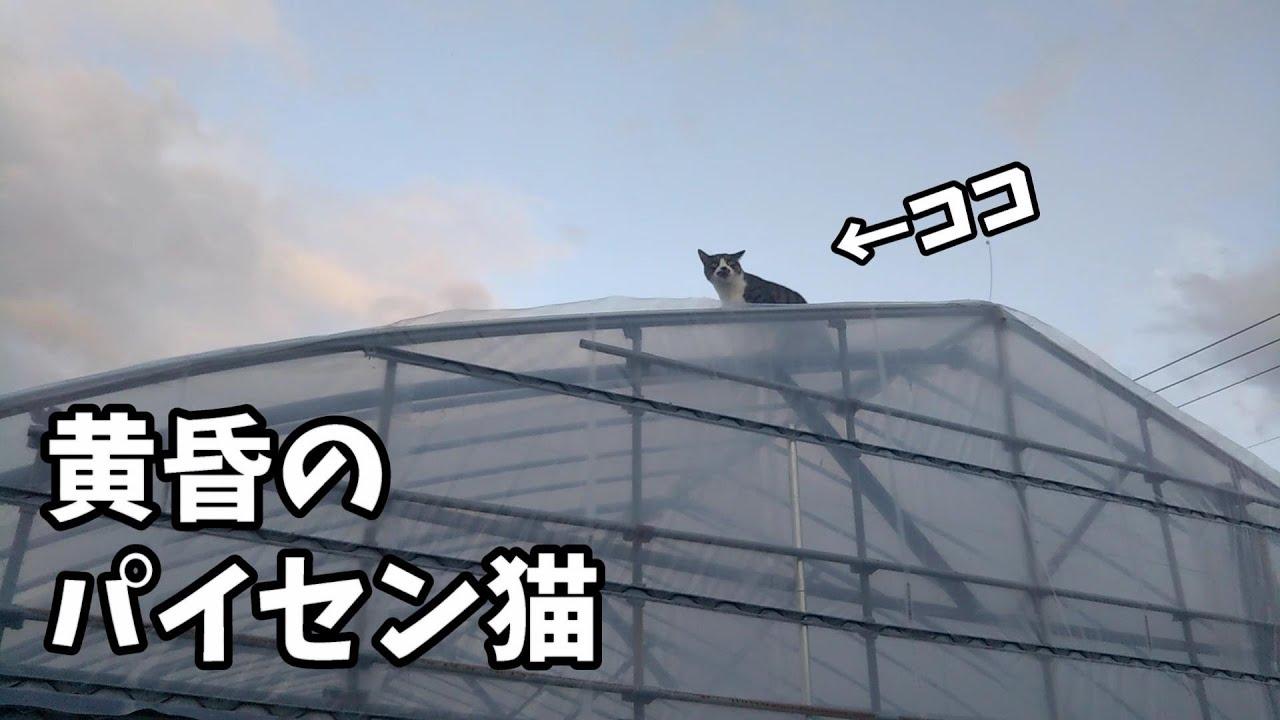 ビニールハウスのてっぺんから辺りを見回す先輩猫