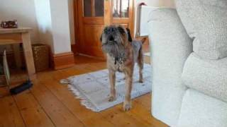 A Border Terrier Singing Reggae . . .