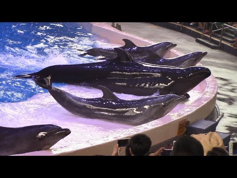 Dolphin Show at Chimelong Ocean Kingdom (8/22/17)