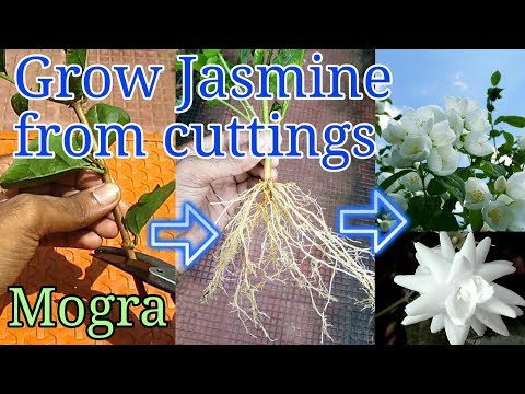 How to grow Jasmine from cuttings