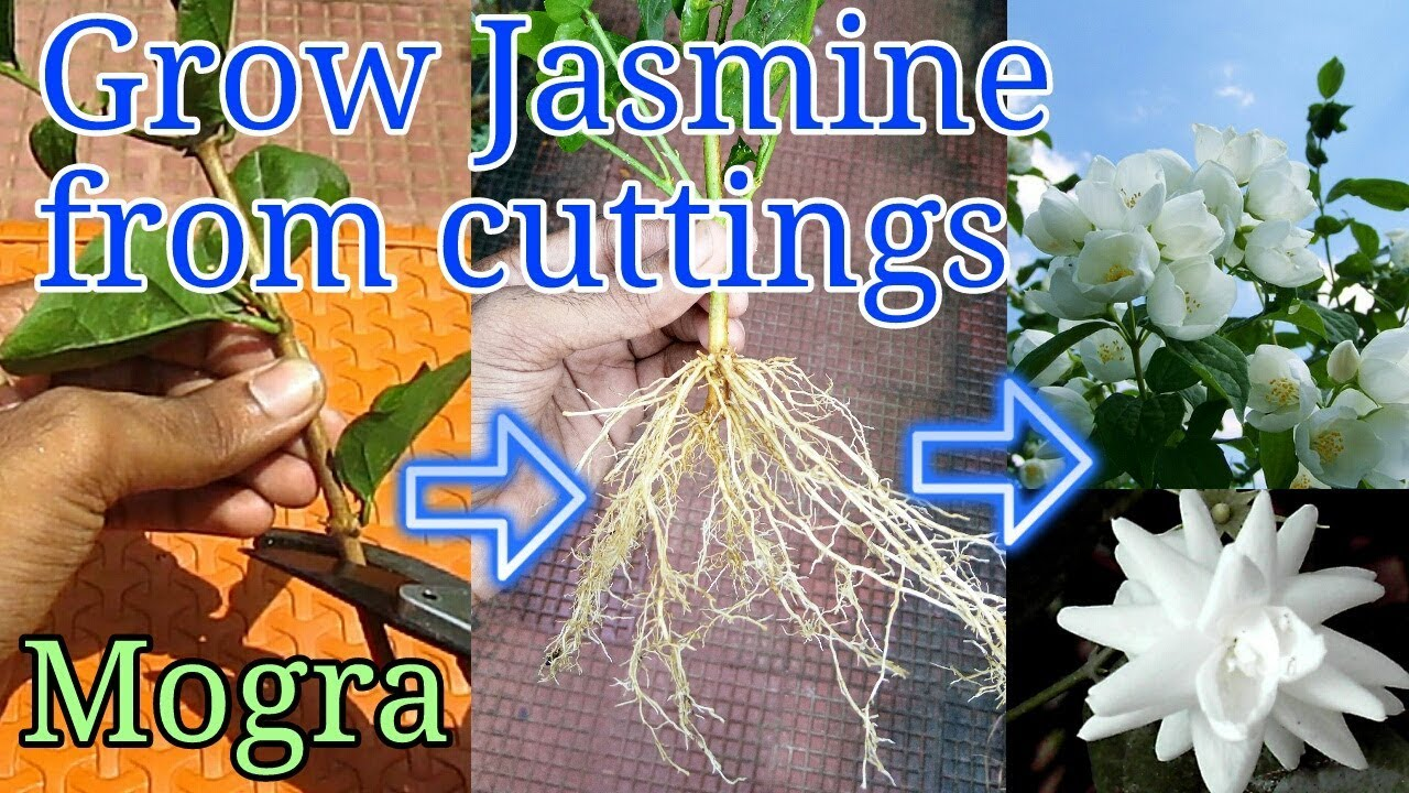 How To Grow Jasmine From Cuttings Youtube