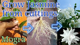 How to grow Jasmine from cuttings thumbnail