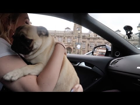 Pug puppy picking up mammy!