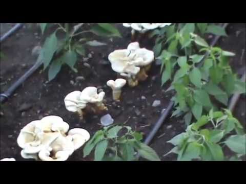Growing Golden Reishi (Ganoderma curtisii) in a garden bed