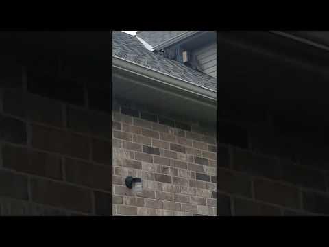 Baby Raccoons Using One-Way Door To Exit An Attic