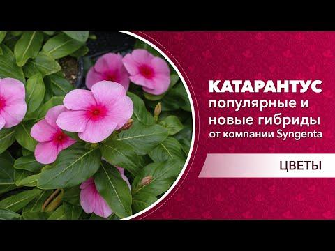 Катарантус ампельный для выращивания на клумбе. Новые и популярные гибриды катарантуса
