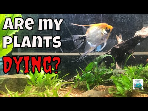 Planted Angel Fish Tank Update  Why Are My Plants Dying????