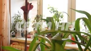 Самый вонючий в мире цветок сделал подарок хозяйке к 8му марта.(Вместо роз и тюльпанов - Аморфофаллос - самый вонючий цветок в мире. В России и Нижнем Новгороде он крайне..., 2014-03-06T15:24:36.000Z)