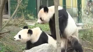 Панды... секс и насилие