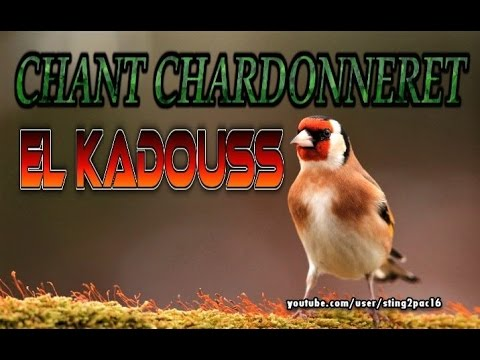 Chant Chardonneret El Kadouss Original ▶100%◀