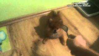 Смотреть видео щенок очень трусливый