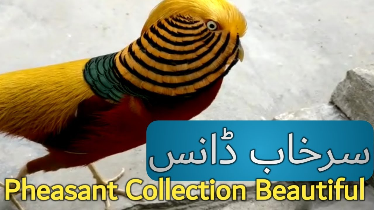 Surkhab سرخاب Beautiful Birds Collection | Pheasant Dancing Hand Tamed Bird Urdu Hindi 2018