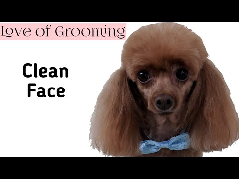 How to Shave a Toy Poodles Face