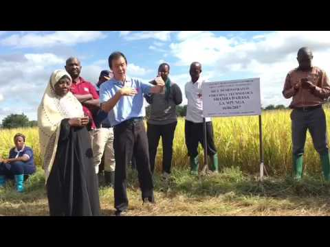The Chinese expert transfering China paddy cultivation technology to Tanzanian farmers