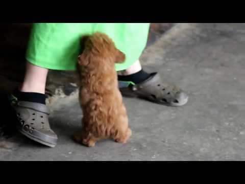 Miniature Poodle Puppy For Sale