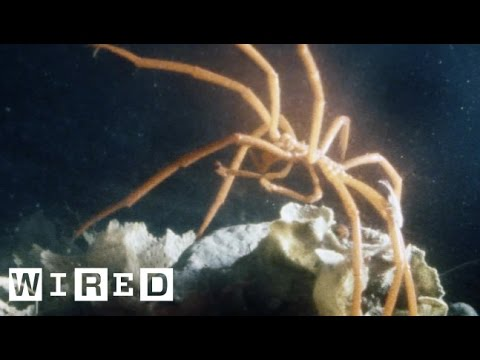 The Bizarre Sea Spider Won't Bite. We Promise | Absurd Creatures