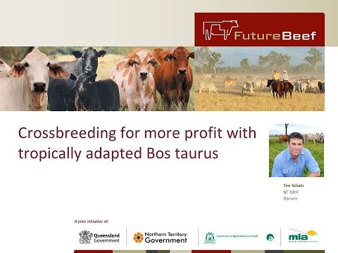 Crossbreeding for more profit with tropically adapted Bos taurus cattle