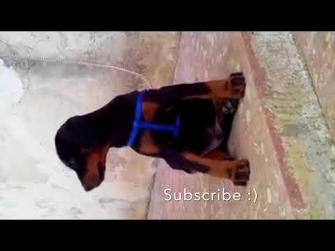 Playful Doberman Puppies 16 Weeks Old - Breeder