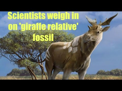 Scientists weigh in on 'giraffe relative' fossil
