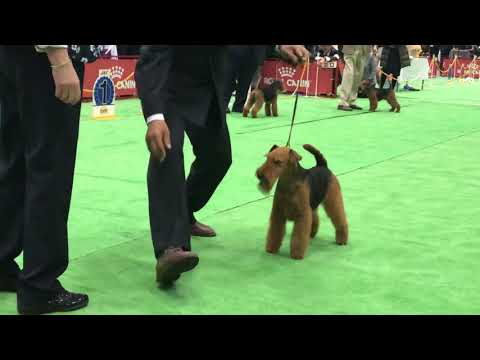 FCI Japan International Dog Show 2019 Welsh Terrier