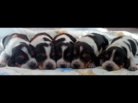 Teeny tiny Pocket Beagle puppies for sale. 2 weeks old.