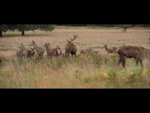 The Red Deer Rut
