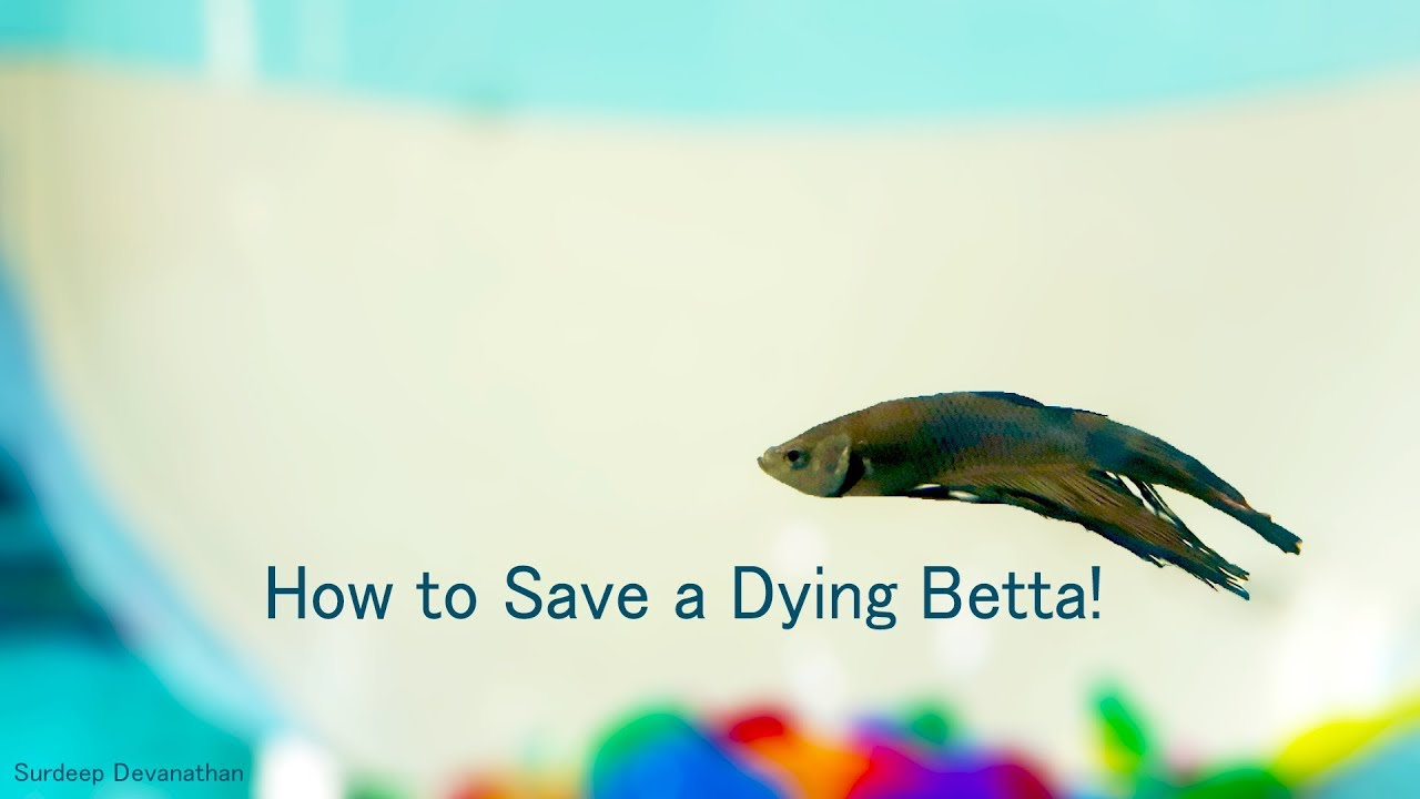 how to save a dying betta fish care fungal infection youtube