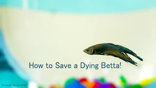 How to save a Dying Betta | Fish Care | Fungal Infection