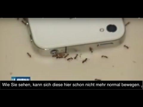 Auswirkungen von Handystrahlung auf Ameisen