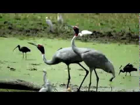 Crane ~ Bird Call ~ Bird Song