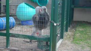 Repeat youtube video Angry Horny Baboon!