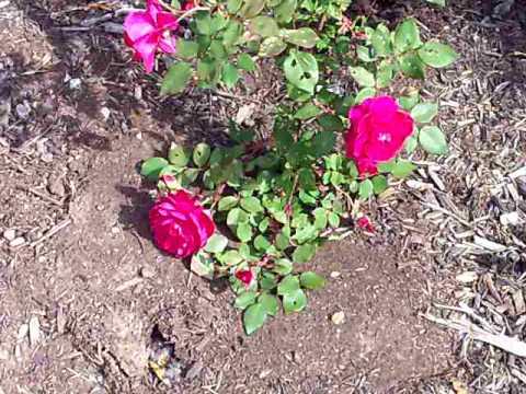 Quadra rose