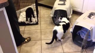 Irish Water Spaniel Puppy Crate Training Group 3