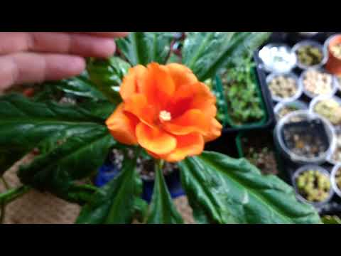 PERESKIA  BLEO BEAUTIFUL!!! Tropical Wax Rosé Cactus and succulents