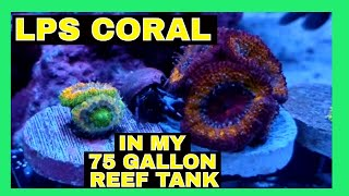 LPS Coral - 75 Gallon Reef Tank - Coral Update