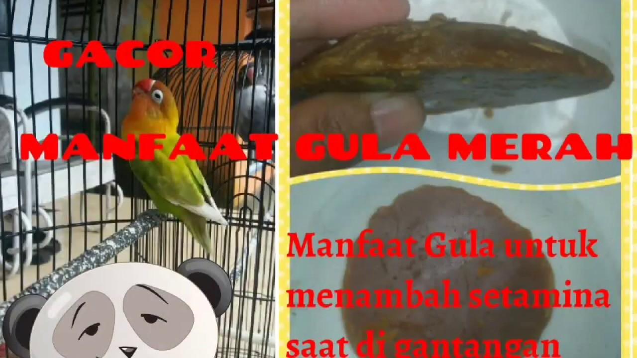 Meningkatkan Setamina Burung Lovebird Di Gantangan Dengan Gula Merah By Mm Chanel