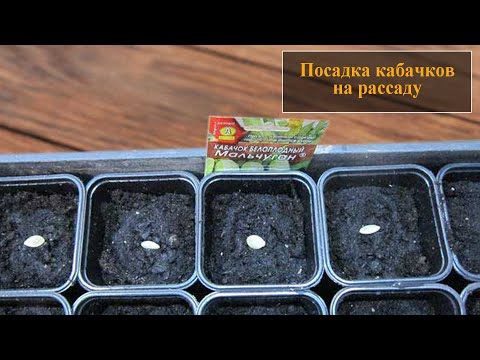 Посадка кабачков рассадой в открытый грунт | высаживать | рассадой | открытый | кабачков | рассаду | посадка | кабачки | сажать | когда | грунт