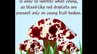 Amazing Facts About the Bleeding Tooth Fungus Hydnellum Peckii