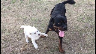 Лабрадор Бэтти и её друзья | Социализация щенка
