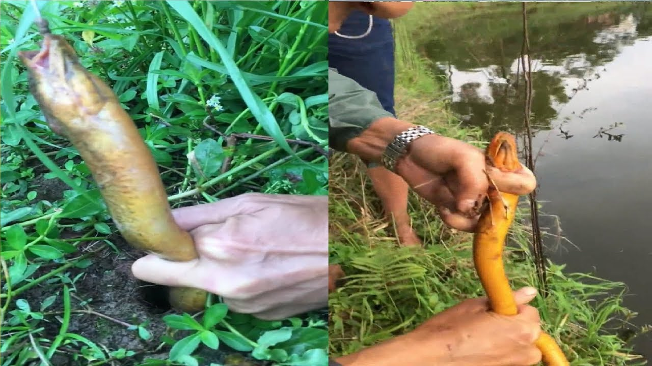 Wow ! ! Amazing Fishing, Eels Trap-Catching Eels With Bare Hands #022