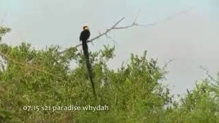 Burung ekor panjang suara eksotis