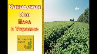 Канадская соя -  Поле в Украине