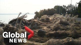 Thousands of spiders cover Greek coastline in cobwebs