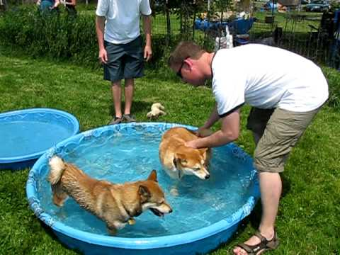 Shiba Inu Day at the Lure Course!