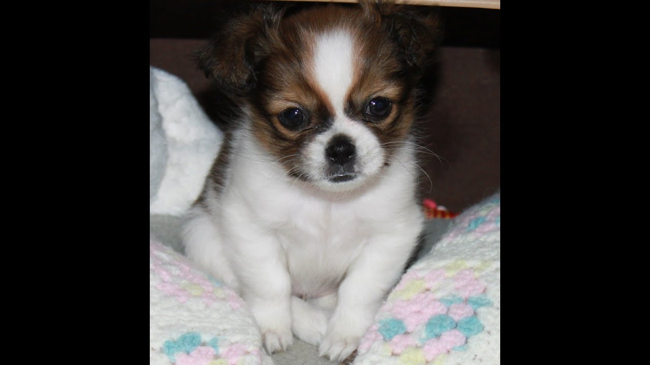 Shih Tzu~Chihuahua SHI CHI Willow ! Cutest puppy pics ever ...