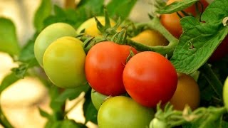 Tomato Farming at home some good tips n tricks