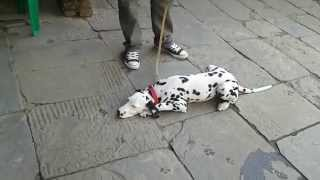 The Best Dalmatian Dog Training By Nepali Dog Trainer.dog Training - How To Train A Dalmatian