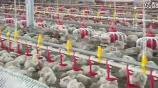Tunnel Ventilated Poultry House Chinese Manufacturer Superherdsman