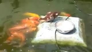 Aksi Anak Bebek Vs Ikan Keren
